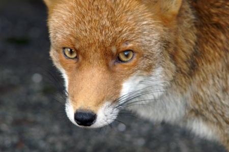 A fearless fox
