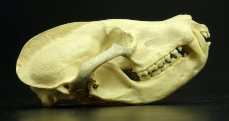 Coati skull