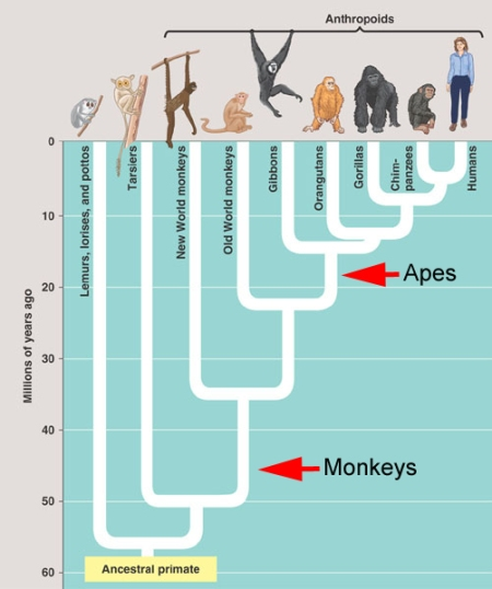 Apes are monkeys – deal with it | Zygoma