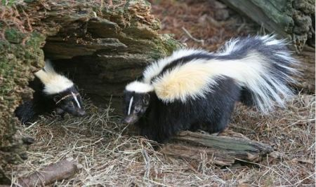 Striped Skunk by Tomfriedel (http://www.birdphotos.com/)