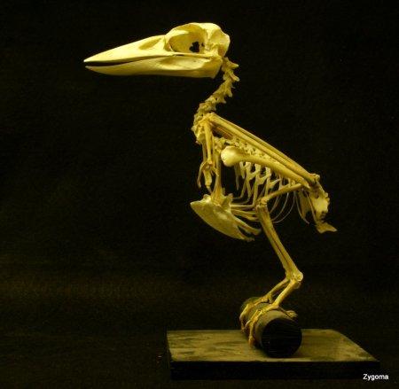 Laughing Kookaburra Dacelo novaeguineae skeleton