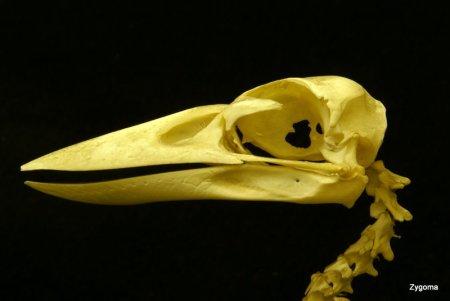 Kookaburra skull