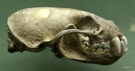 Crab-eating Raccoon skull