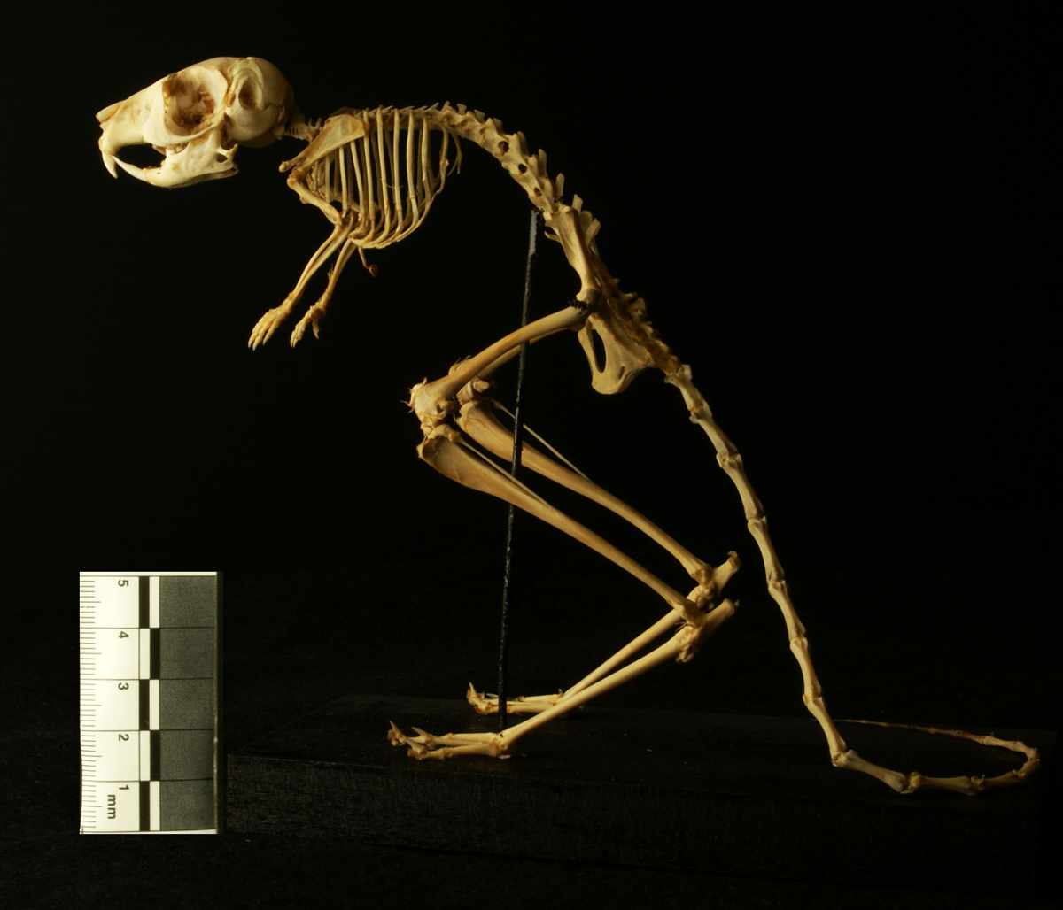 Aardvark skeleton - photo#25