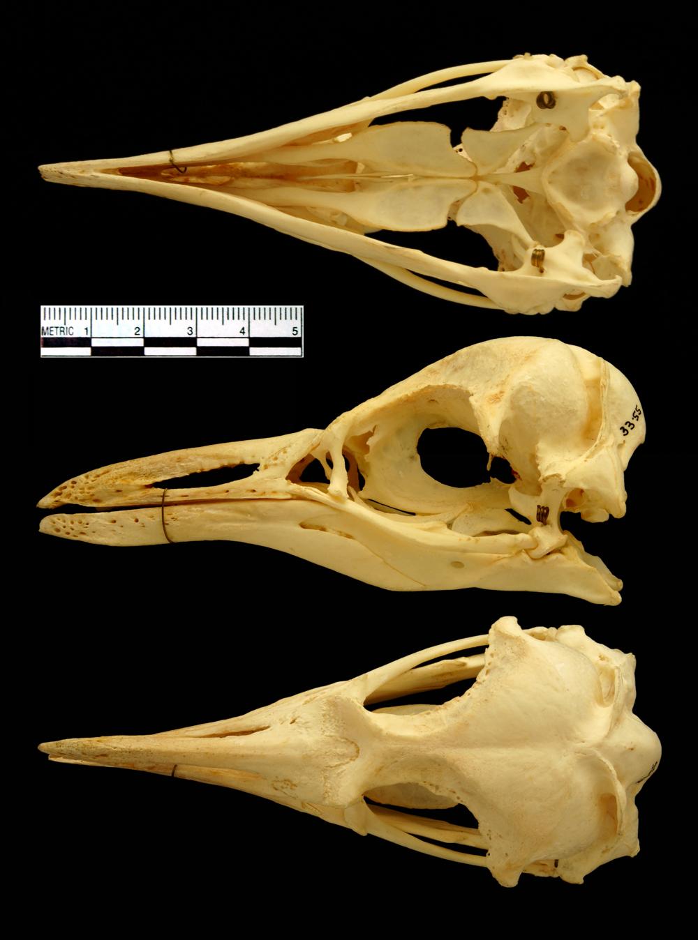 Bird Skull Top