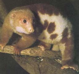 Common Spotted Cuscus by Shannon Davis