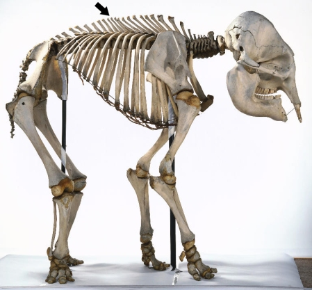 Asian Elephant skeleton via SVPOW