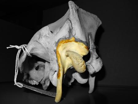 Paramastoid process of Pig (Sus scrofa)