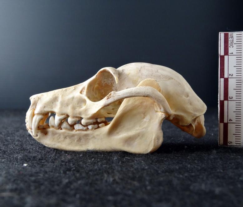 Skull of a Flying Fox (Pteropus sp.)