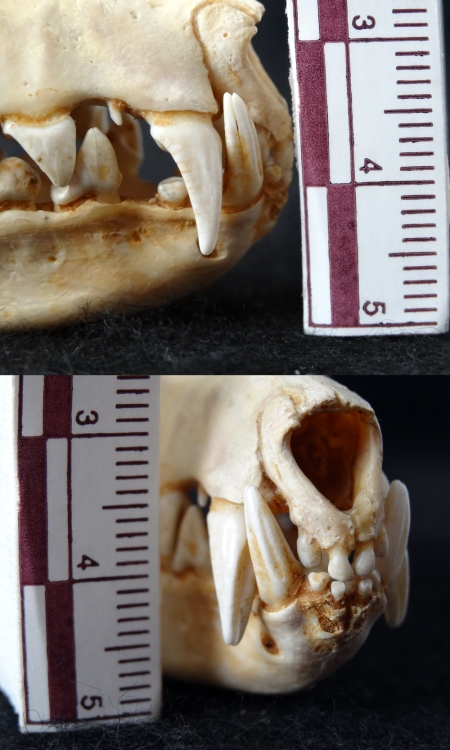 Grooved canine teeth of a Flying Fox (Pteropus sp.)