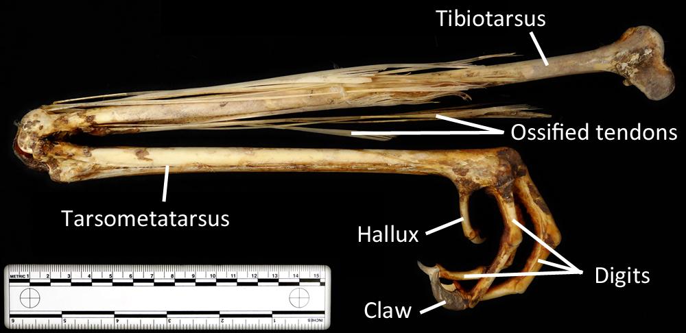 Cassowary skeleton - photo#23