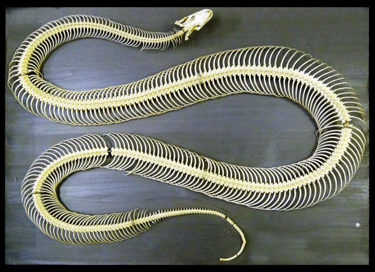Happy Year Of The Snake Zygoma