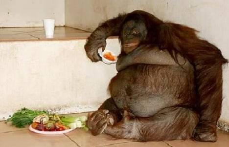 Oshine the morbidly obese Orangutan
