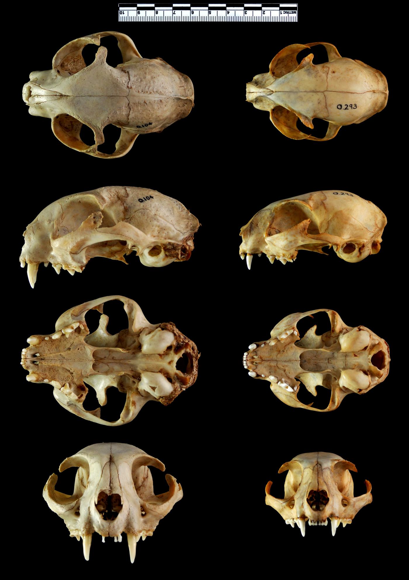 Big Cat Skull Identification