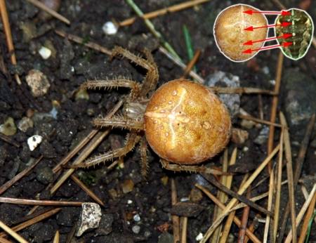 Araneus_diadematus_comparison