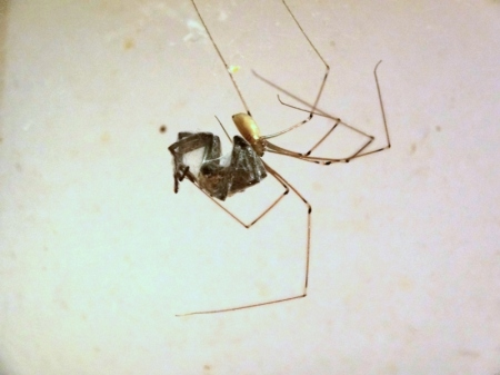Cellar Spider (Pholcus phalangioides) feeding on a different spider species
