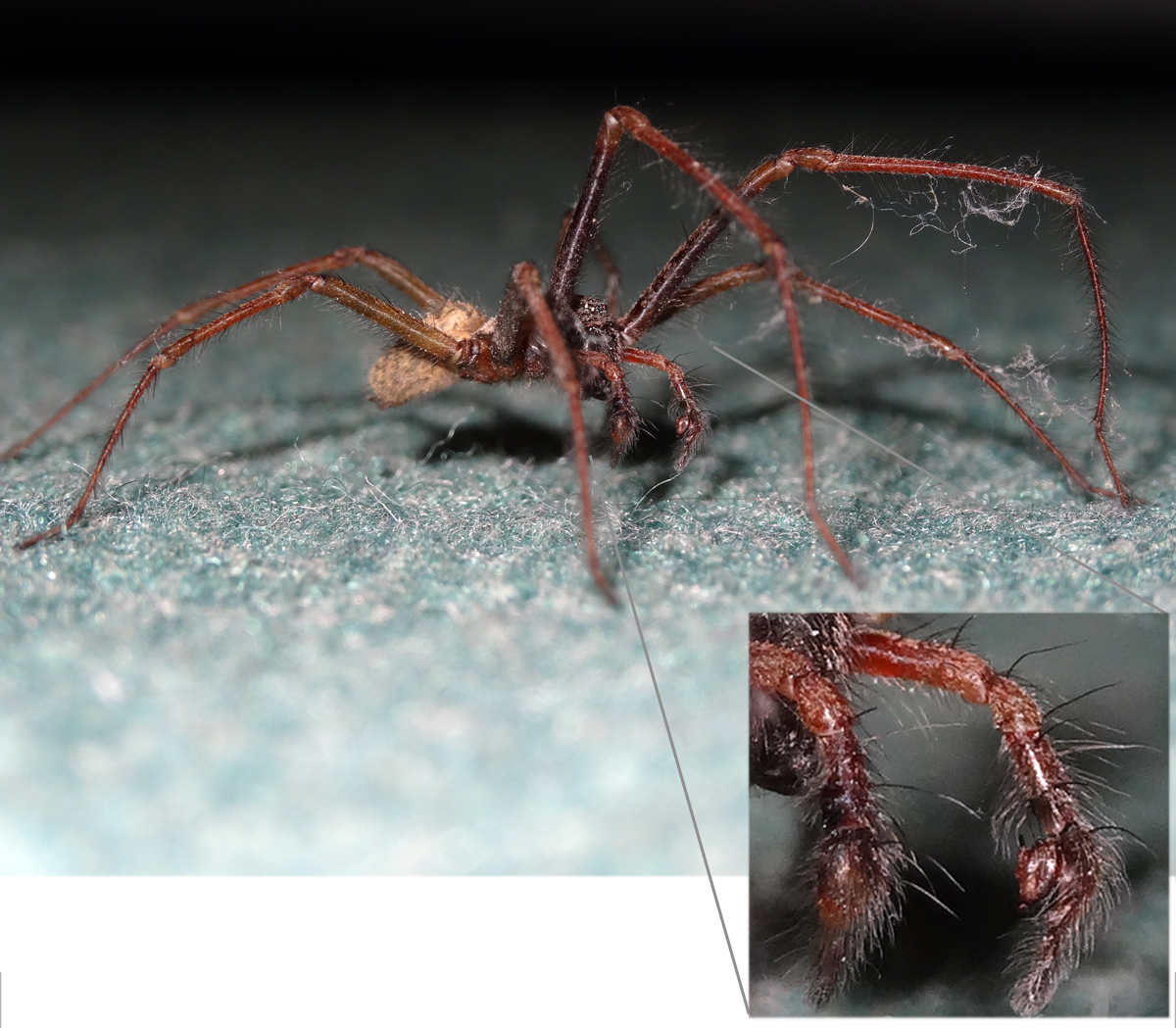 Common house spider bite