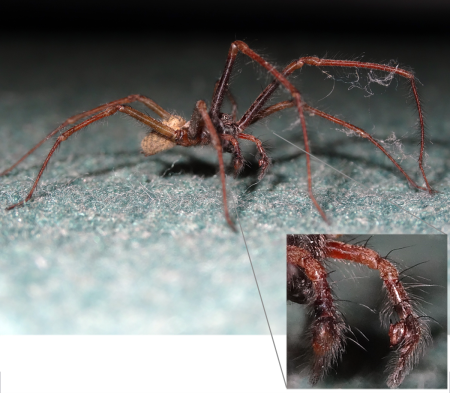 Male Giant House Spider (Eratigena atrica) on the lookout for females. Inset: note the 'boxing glove' pedipalps that show this is a male