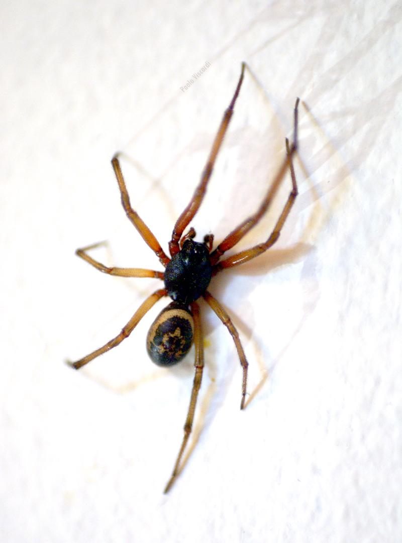 Steatoda nobilis, Forest Hill, London, by Paolo Viscardi, 2014