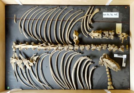 Tapir_axial_skeleton