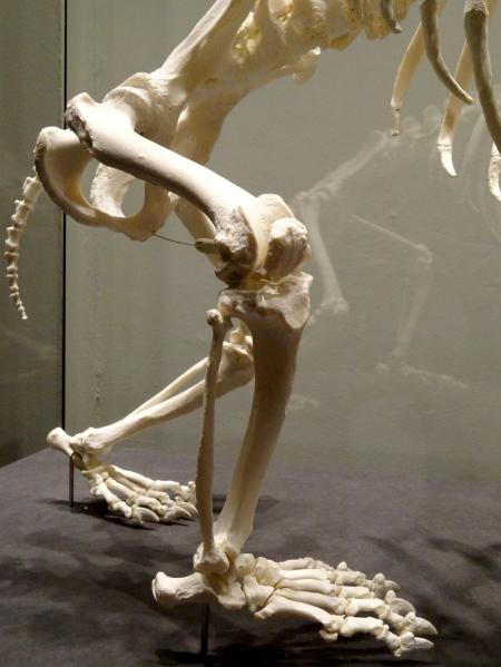 Panda hind limb bones showing plantigrade foot