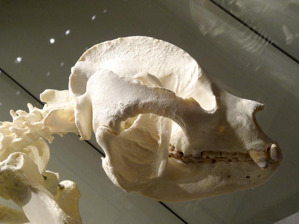 Panda skull side view