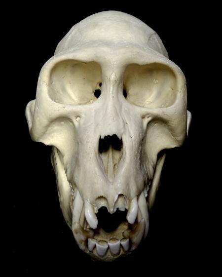 Monkey_skull