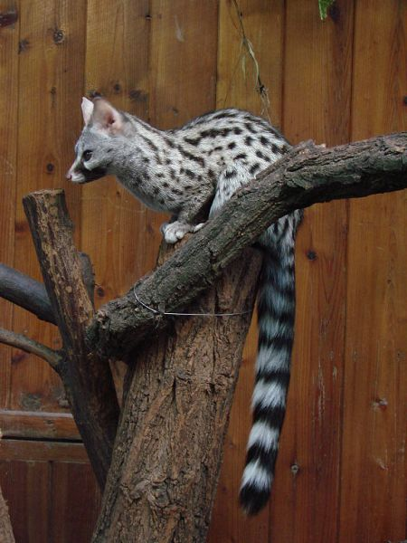 Common Genet in Wrocław Zoo by Guérin Nicolas, 2008