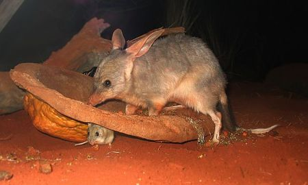 640px-bilby_at_sydney_wildlife_world