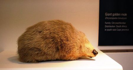 Giant Golden Mole taxidermy at NHM London by Esculapio 2010