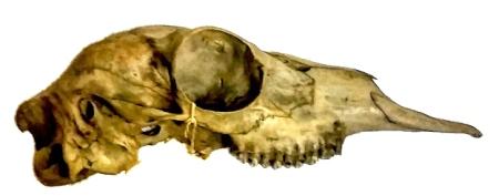 mystery273-gerenuk