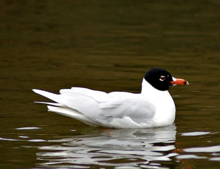 Mediterranean Gull in Sweden, by Martin Olsson, 2007