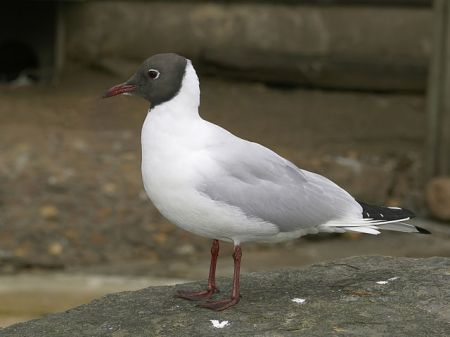 Black-headed gull at but not in the Antwerp Zoo, Belgium by Hans Hillewaert, 2008
