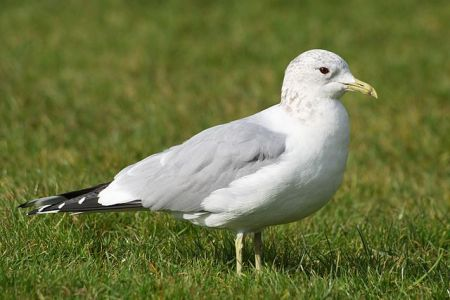 Common Gull (Larus canus) in winter plumage, by NotFromUtrecht, 2010
