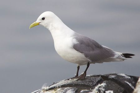 Kittiwake in Vardø, Norway by Yathin S Krishnappa, 2012