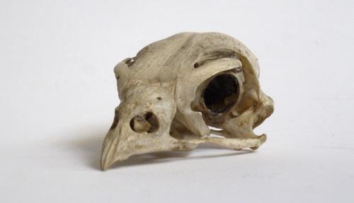 LDUCZ-Y1721 peregrine falcon skull
