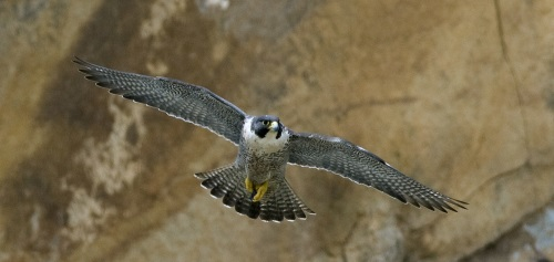 Peregrine in flight. Image by Kevin Cole; Cc-by-2.0; via Wikimedia Commons