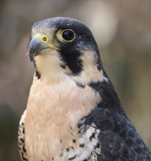 Peregrine falcon. Image by Ltshears; CC-BY-SA-3.0; via Wikimedia Commons