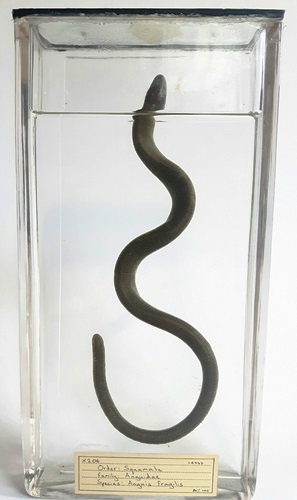 Sloworms are legless lizards. LDUCZ-X206