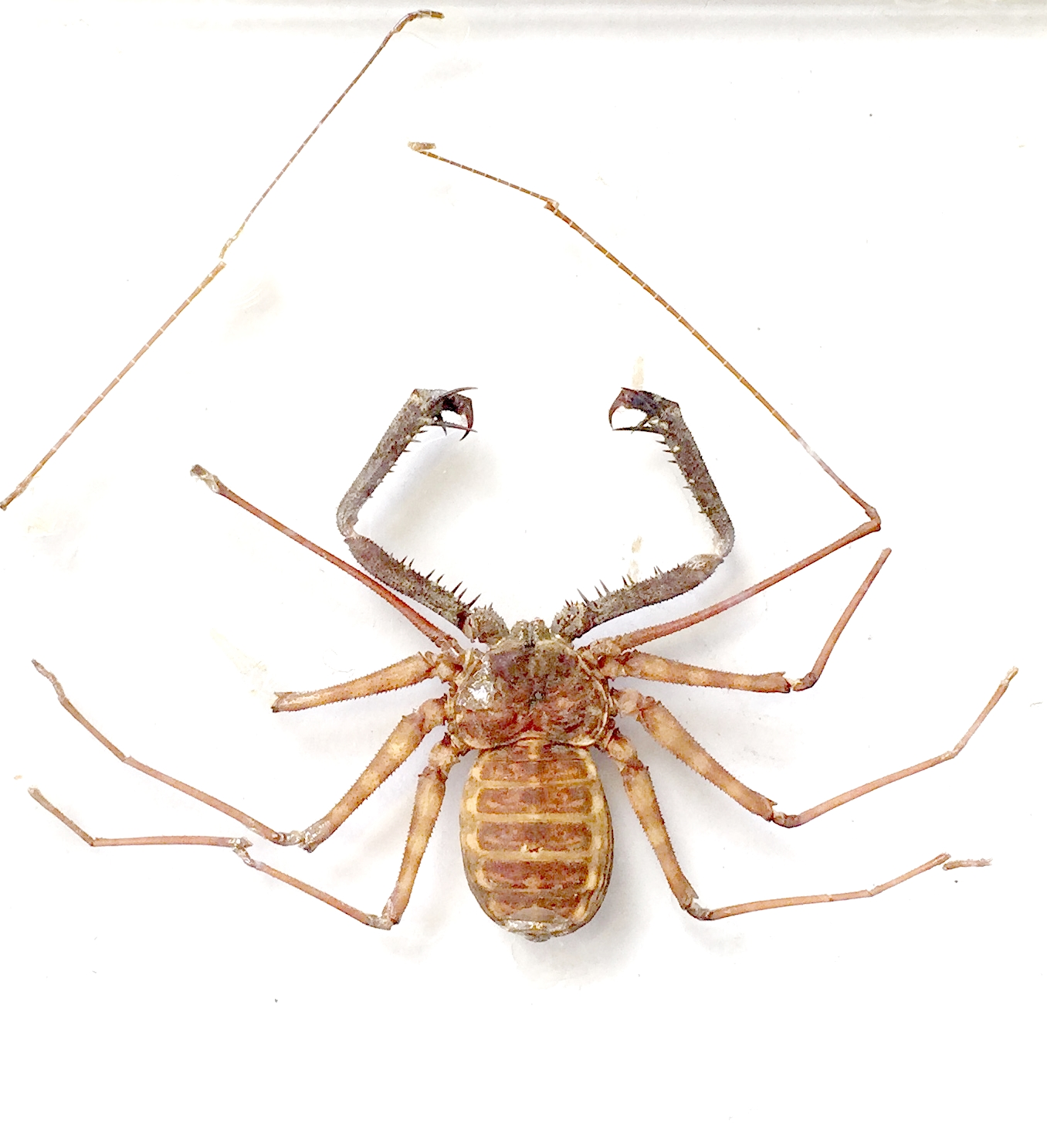Specimen of the Week 254 : Tailless Whip Scorpion | UCL