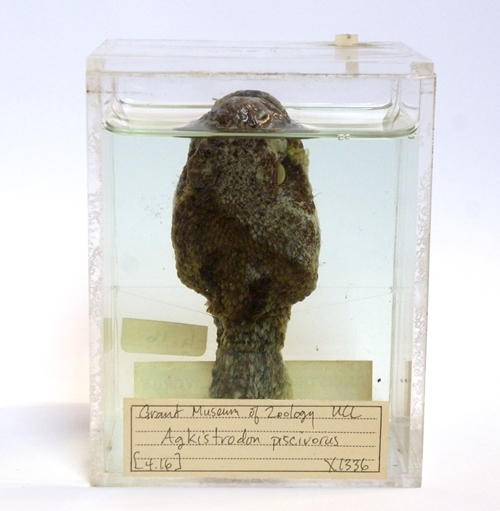 LDUCZ-X1336 preserved cottonmouth head