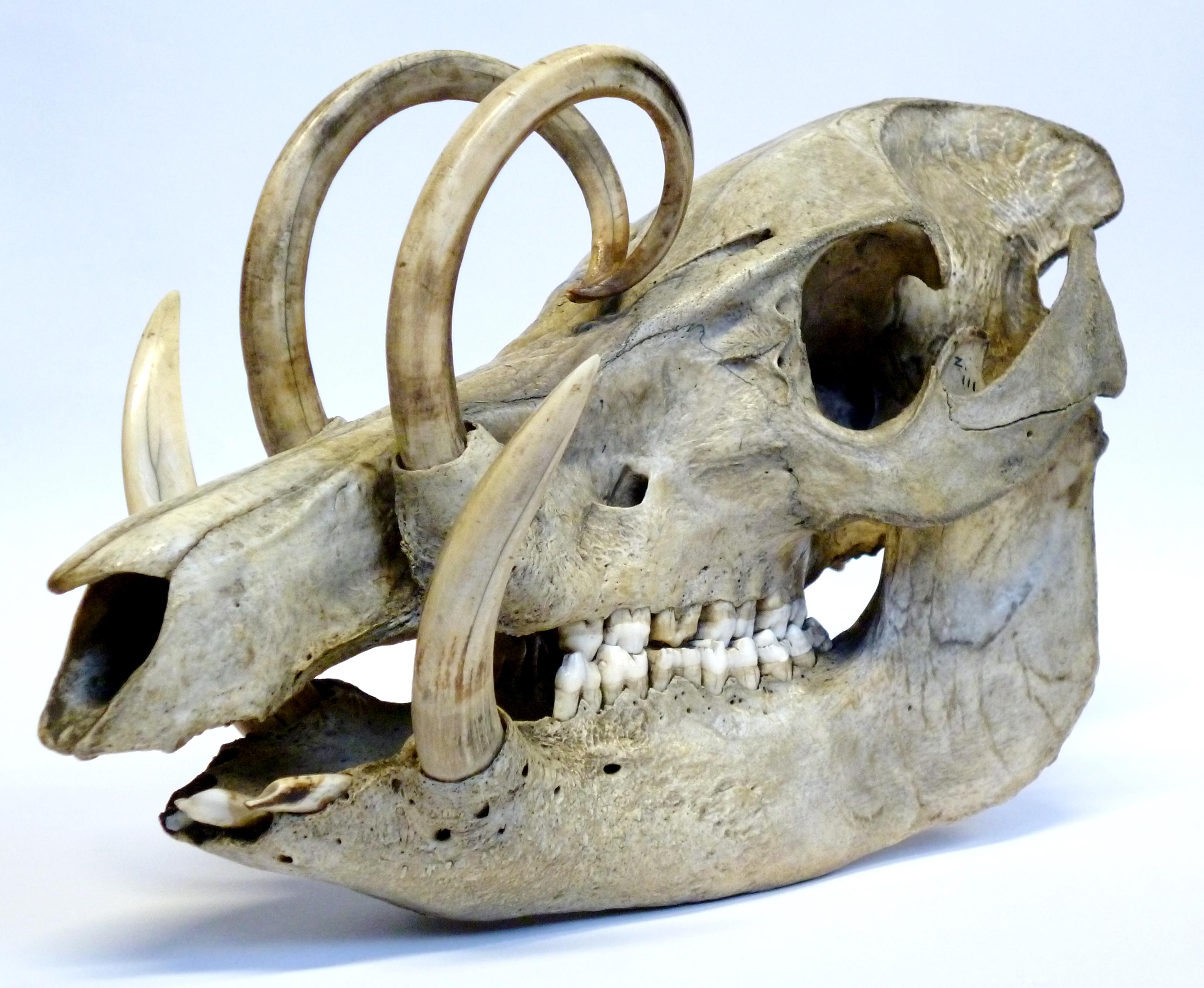 LDUCZ-Z111 Babyrousa babyrussa skull