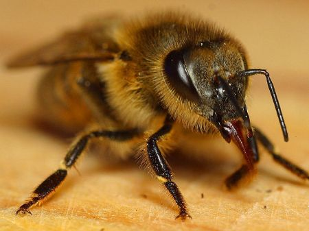 Honey Bee showing its mouthparts in situ. Image by Jon Sullivan