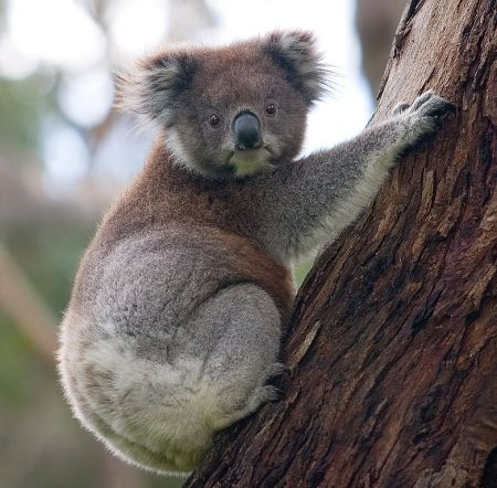 Koala climbing a tree. Photo by DAVID ILIFF. License: CC-BY-SA 3.0