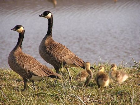 640px-small_cackling_goose_brood