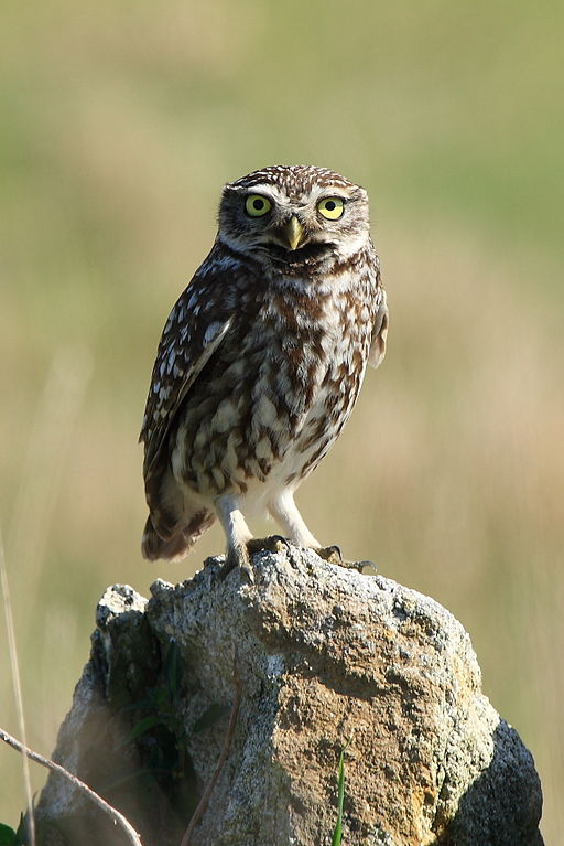 Little Owl by Arturo Nikolai, 2008