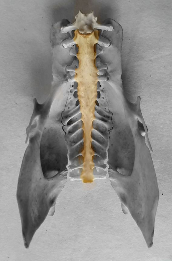 chicken synsacrum