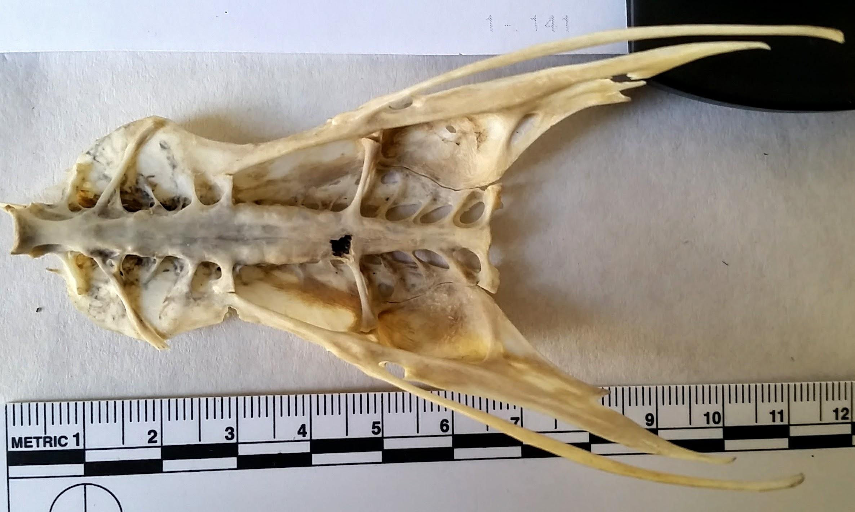 herring gull synsacrum