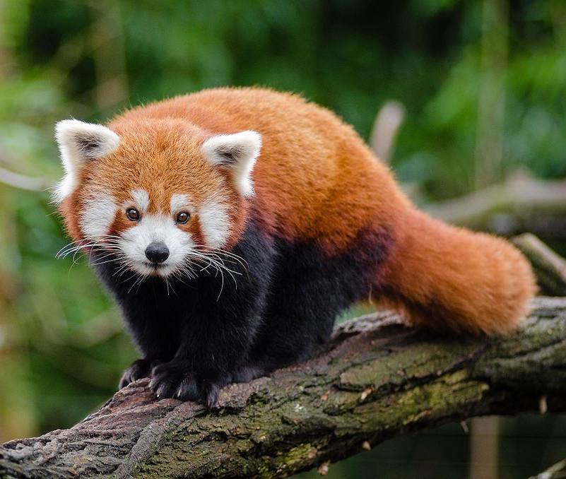 Red Panda image by Mathias Appel, 2016