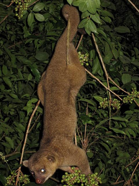 Kinkajou hanging using its prehensile tail. Image by Damian Manda, 2009